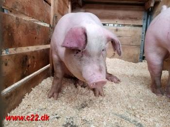 Live Pigs CO2 monitoring. Ammonia NH3 Detect Animal Farm Health